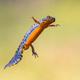 Alpine newt aquatic animal swimming in freshwater habitat - PhotoDune Item for Sale
