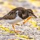Ruddy turnstone shore bird feeding on coast - PhotoDune Item for Sale