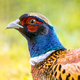Portrait of young male Common pheasant - PhotoDune Item for Sale