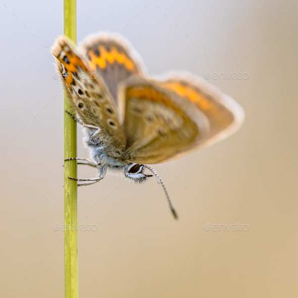 Butterfly silver-studded blue on grass stem - Stock Photo - Images