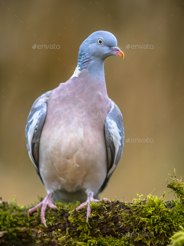 Wood pigeon on mossy branch - Stock Photo - Images