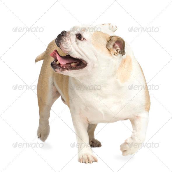 english Bulldog - Stock Photo - Images