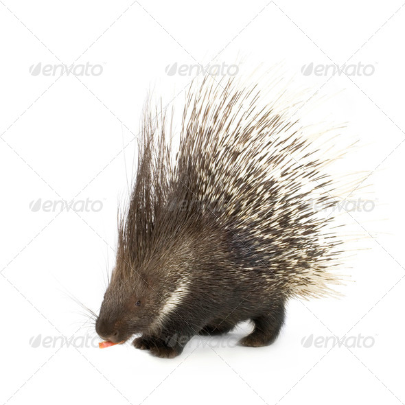 porcupine - Stock Photo - Images
