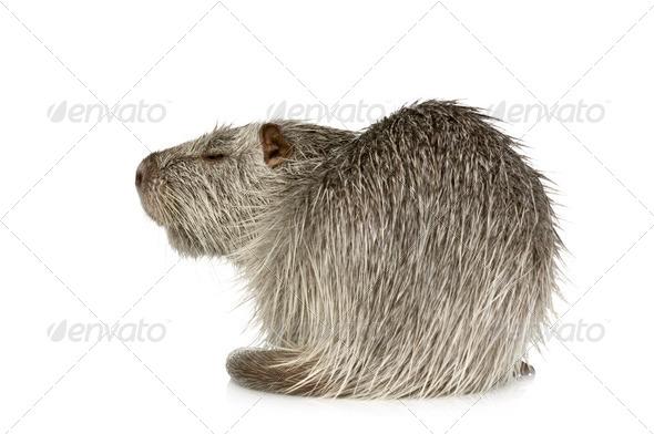 Coypu or Nutria (Myocastor coypus) - Stock Photo - Images