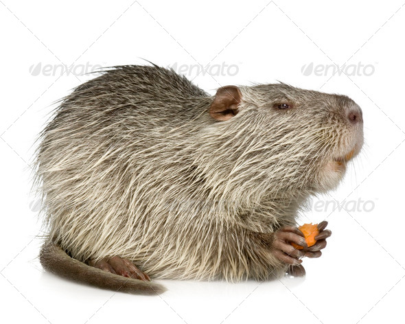 Coypu or Nutria (Myocastor coypus) - Stock Photo - Images