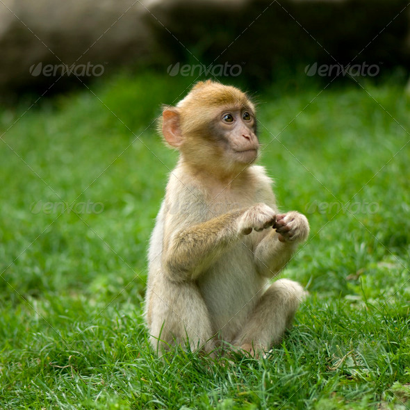 Monkey,Animal, - Stock Photo - Images