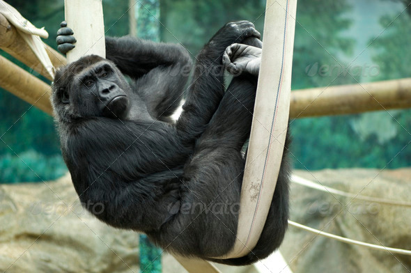 Silverback Gorilla - Stock Photo - Images