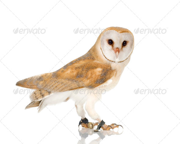 Common Barn Owl (4 mounths) - Stock Photo - Images