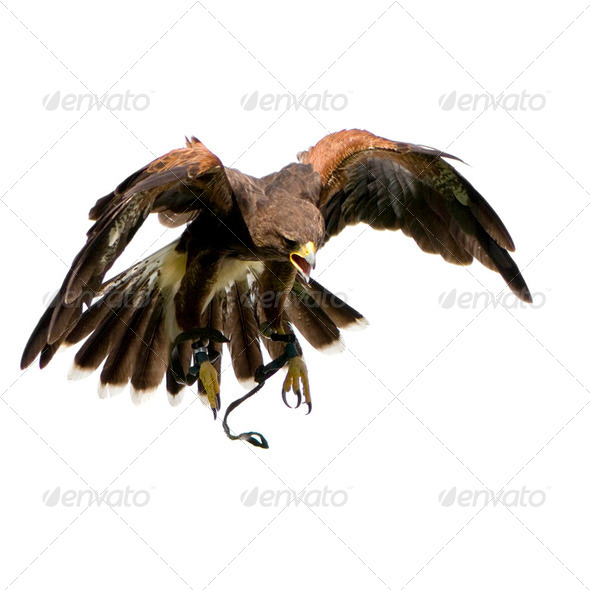Harris's Hawk (18 months) - Stock Photo - Images