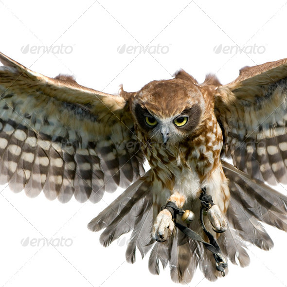 New Zealand owl (3 years) - Stock Photo - Images