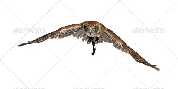 New Zealand owl (3 years) - Stock Photo - Images