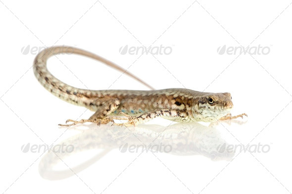 Italian wall lizard - Stock Photo - Images
