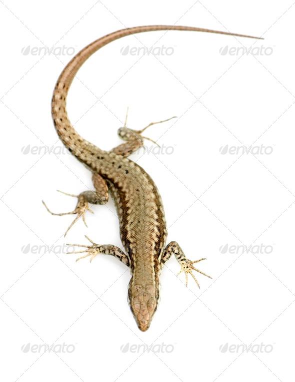 Italian wall lizard - Stock Photo - Images