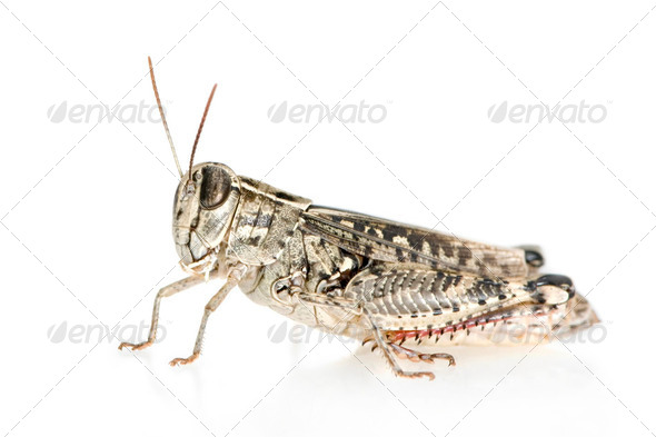 Red-legged Grasshopper - Stock Photo - Images