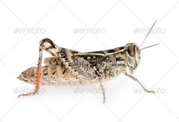 Red-legged Grasshopper - Stock Photo - Images