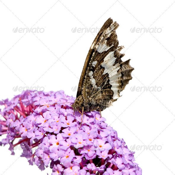 butterly on flower - Stock Photo - Images