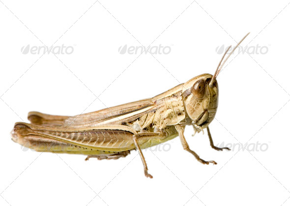 Meadow Grasshopper - Stock Photo - Images