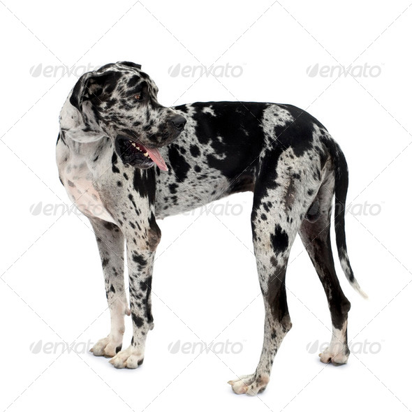 Great Dane HARLEQUIN - Stock Photo - Images