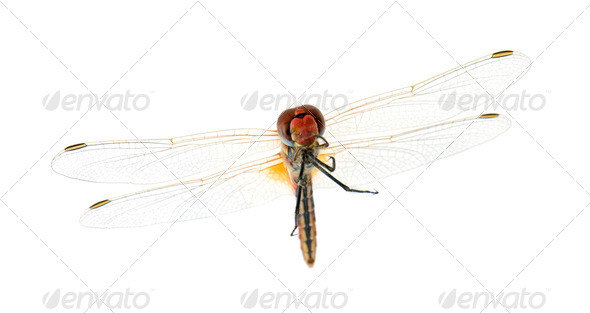 Drangonfly - Sympetrum fonscolombei - Stock Photo - Images