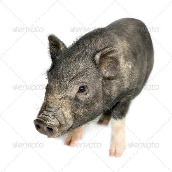 cross-bread vietnamese potbellied pig with wild boar - Stock Photo - Images