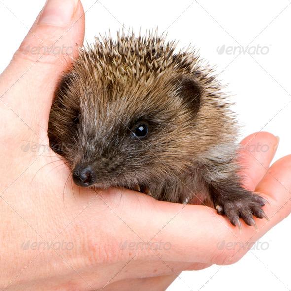 hedgehog (1 mounths) - Stock Photo - Images