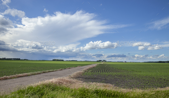 Soybean fields with young plants and a dirt road under dramatic clouds in southwestern Minnesota - Stock Photo - Images