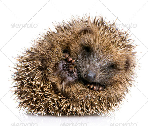 hedgehog (1 mounths) - Stock Photo - Images