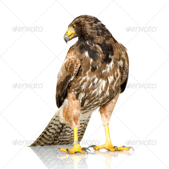 Harris's Hawk - Stock Photo - Images