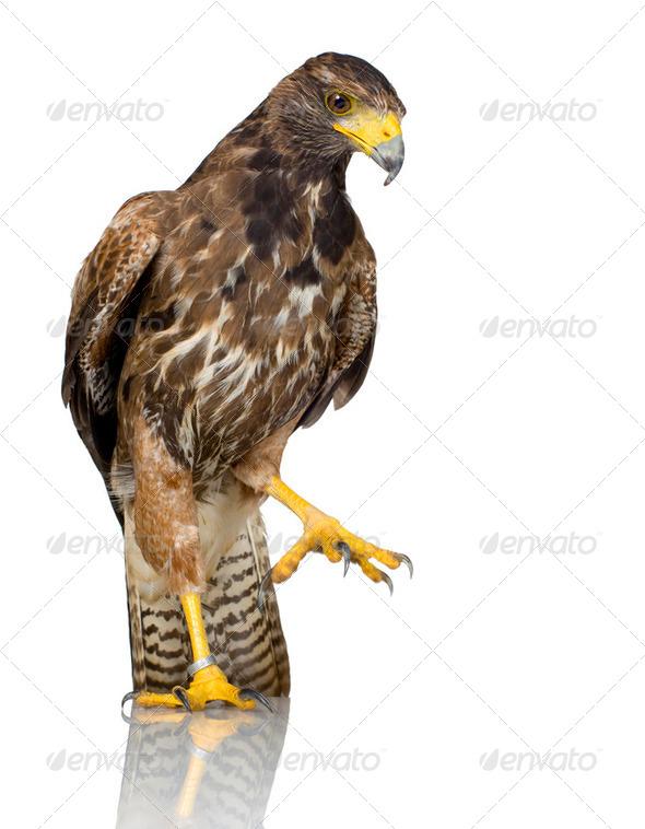 Harris's Hawk - Stock Photo - Images