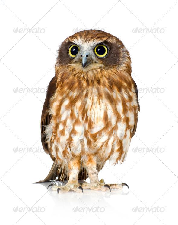 New Zealand owl - Stock Photo - Images
