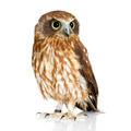 New Zealand owl - PhotoDune Item for Sale