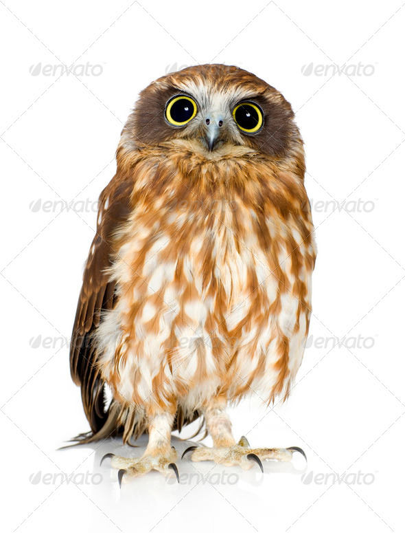 New Zealand owl - Stock Photo - Images