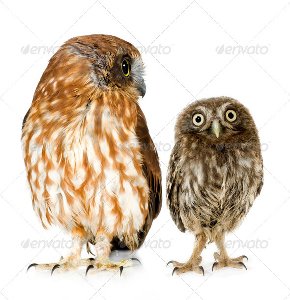 female owl and a owlet - Stock Photo - Images