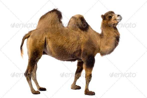 camel - Stock Photo - Images