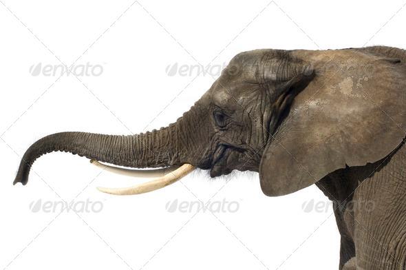 Elephant - Stock Photo - Images