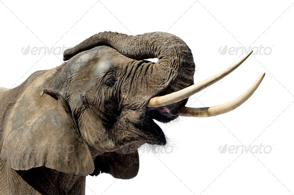 Elephant - Stock Photo - Images