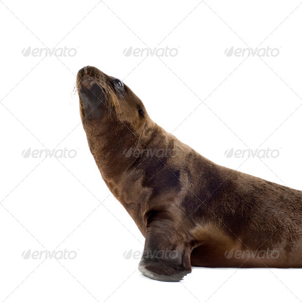 sea-lion pup (3 months) - Stock Photo - Images
