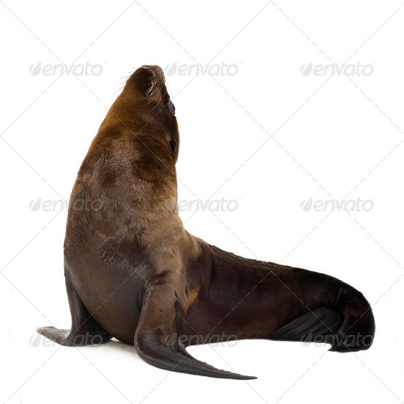 sea-lion pup (3 months) - Stock Photo - Images