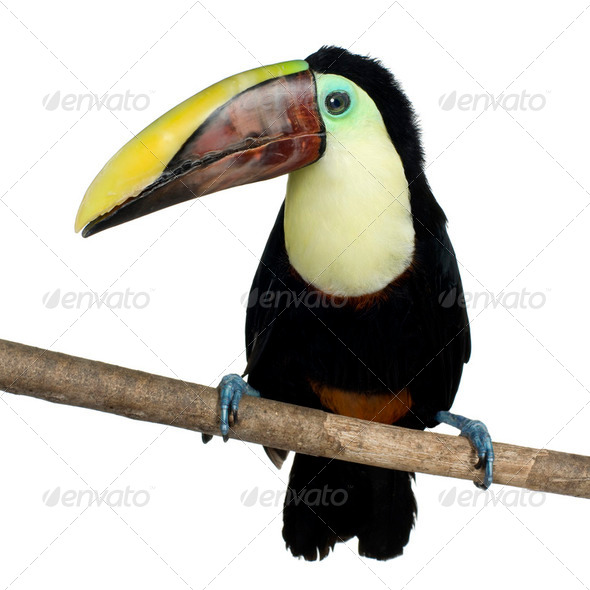 Swainson's Toucan - Stock Photo - Images