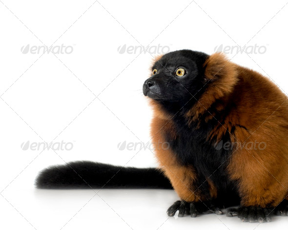 Red Ruffed Lemur - Stock Photo - Images