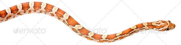 Corn Snake - Stock Photo - Images
