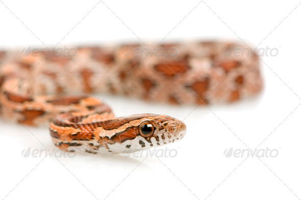Corn Snake - Stock Photo - Images