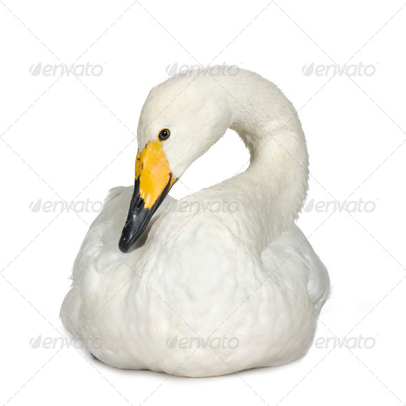 Mute Swan - Cygnus olor - Stock Photo - Images