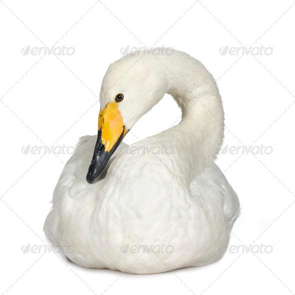 Mute Swan - Cygnus olor - Stock Photo - Images