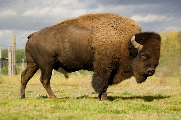 European Bison - Stock Photo - Images