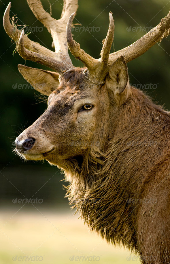 deer - Stock Photo - Images