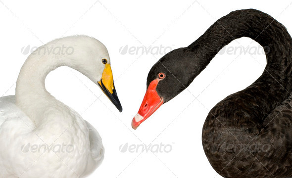 Black Swan and white Swan - Stock Photo - Images