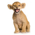 Lion Cub (3 months) - PhotoDune Item for Sale