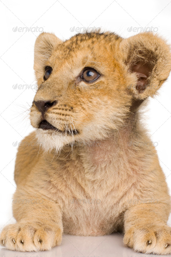 Lion Cub (3 months) - Stock Photo - Images