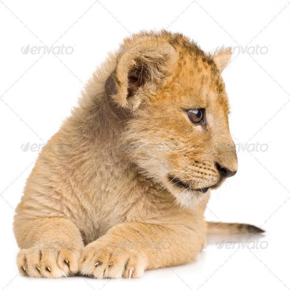 Lion Cub (3 months) - Stock Photo - Images